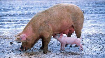 Cerdo en la Península Ibérica