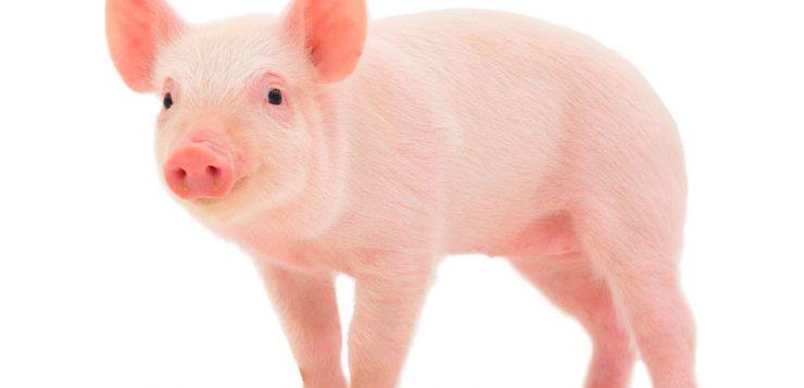 Sector porcino: bienestar animal de la granja a la mesa I