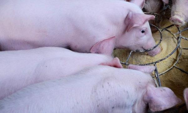 alimentación cerdo