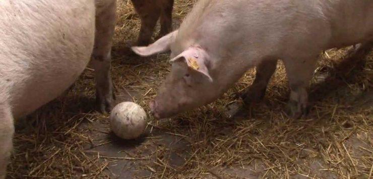 Sector porcino: bienestar animal de la granja a la mesa II