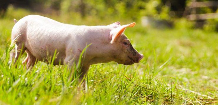 Reduciendo la huella hídrica de la actividad porcina